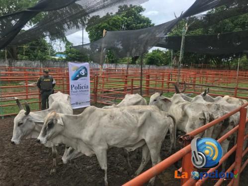 Aprehendidos 39 bovinos ingresados de manera irregular al departamento de Arauca avaluados en 60 de millones de pesos