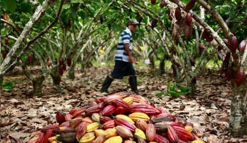Campesinos constructores de paz lanzan marcas de chocolate que representan a ocho departamentos del país