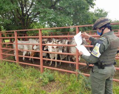 Aprehendidos 25 bovinos de contrabando en la Vereda de Betoyes