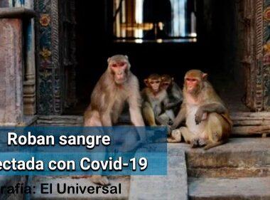 Un grupo de monos robaron unas muestras de sangre con coronavirus