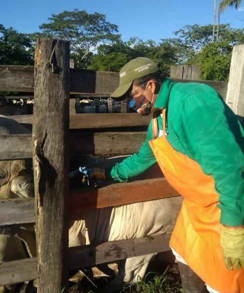 Se han vacunado en el departamento de Arauca 929.000 bovinos contra la fiebre aftosa